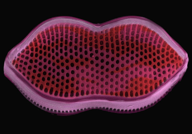 Larger than life yet just two microns in length. Digitally coloured diatom by artist, artist Faye Darling.