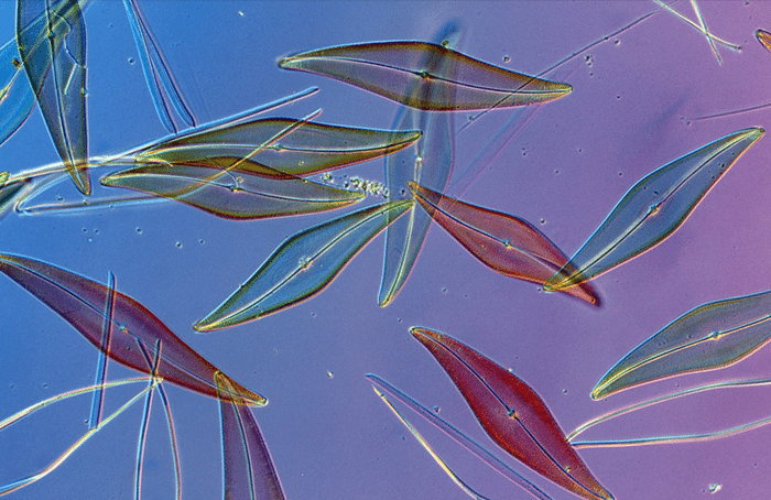 The marine diatom Pleurosigma angulatum, magnified here 200 times, is shaped like an elongated leaf. (Photograph by Darlyne A. Murawski)