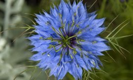 How to Use Nigella Sativa