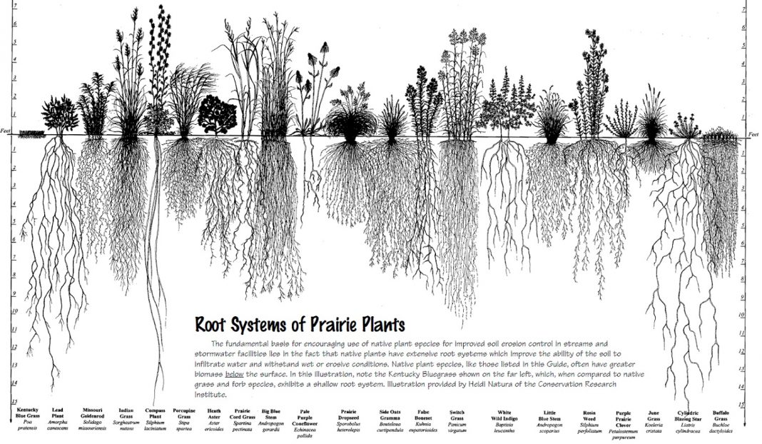 Natural grasses have deep roots designed to withstand long dry periods