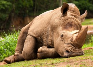The white rhinoceros now numbers less than 2,500 while all rhino species total less than 29,000 animals - down from more than 500,000 in 1900!