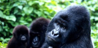 Our genetic cousins are on life support - the eastern gorilla