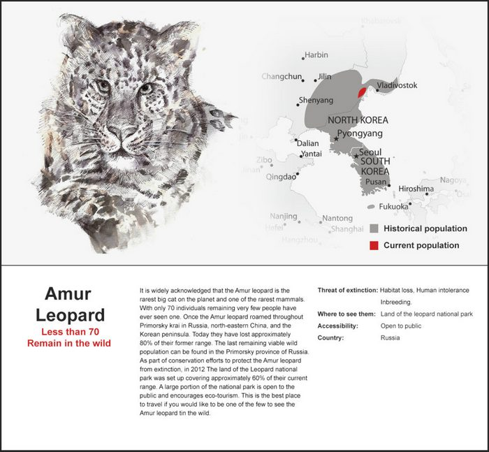 The Amur Leopard, also known as the Far Eastern Leopard has recovered from a population low of around 25 animals in 2007 to approximately 70 today.