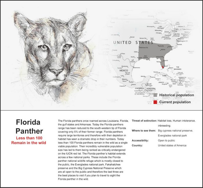 The Florida panther is a subspecies of the American cougar. It is now restricted to less than 5% of it's historical territory. Less than 160 are believed to exist in the wild.