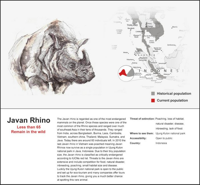 Once the most widespread of Asian rhinoceroses, the Javan rhinoceros is critically endangered, with only one known population in the wild, and no individuals in captivity. Numbers are thought to be less than 60.