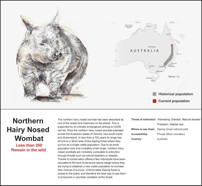 One of Australias best loved yet rarest marsupials, The Northern Hairy Nosed Wombat.