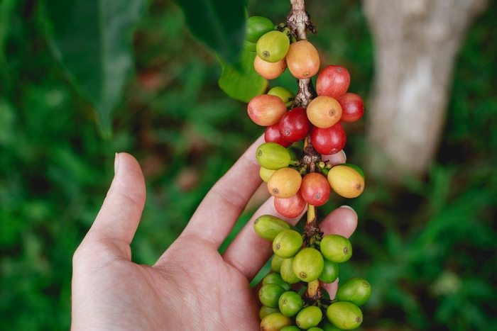 The search for sustainable coffee