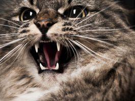 Cats are born killers and they are killing a million birds a day here in Australia!