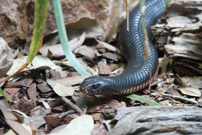 The Inland Taipan snake is one of the most dangerous snakes in Australia.