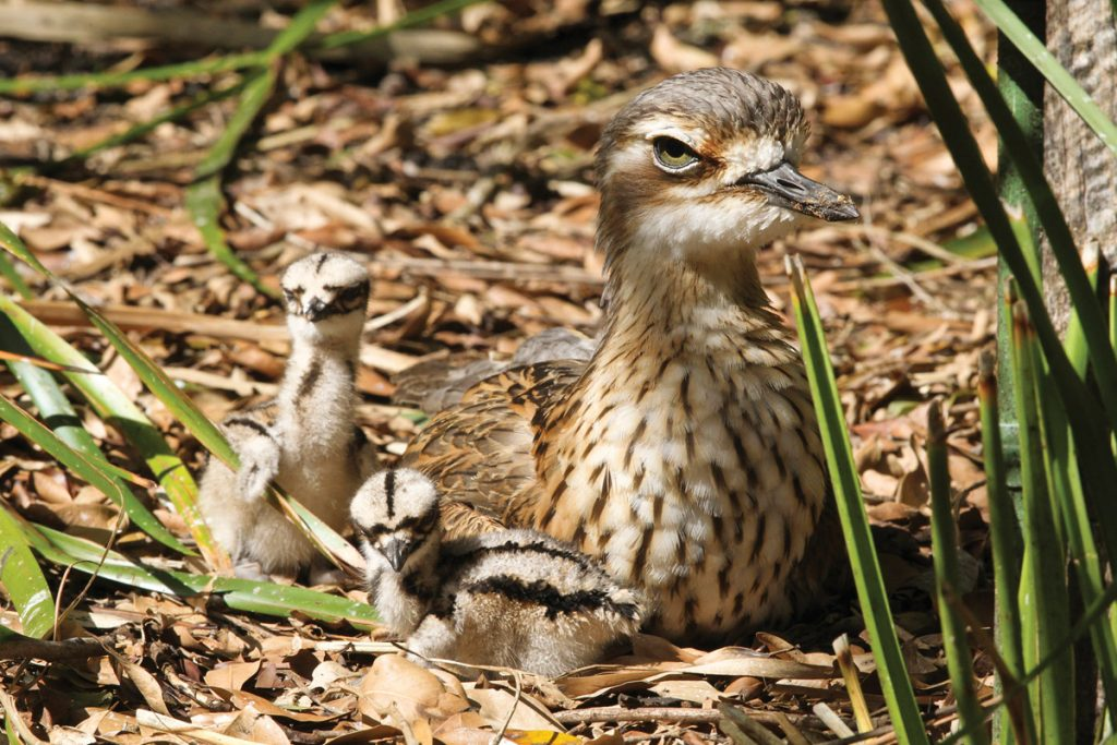 Ground dwelling birds such as the Bush Stone-Curlew are especially vulnerable.