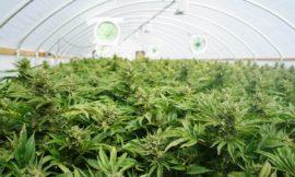 Is the war on marijuana politics rather than science?