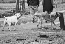 It's more a stroll or amble than a walk, since the dogs need to constantly smell the 'next best thing'.