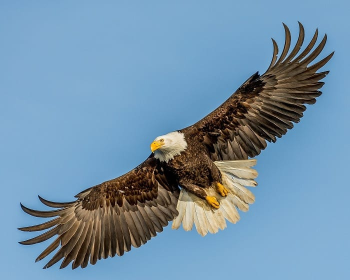 Experts say the US Endangered Species Act helped to save the American bald eagle.