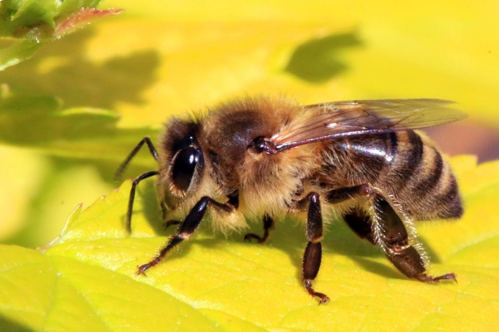 Researchers blame pesticides for the death of the bees.
