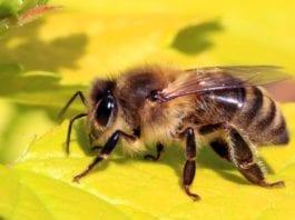 Mass Bee Deaths