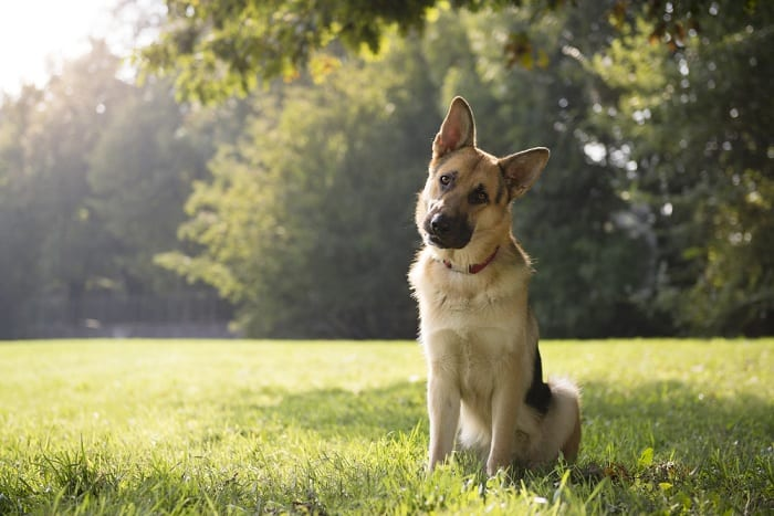 Some dogs have a natural instinct to protect their home and family.