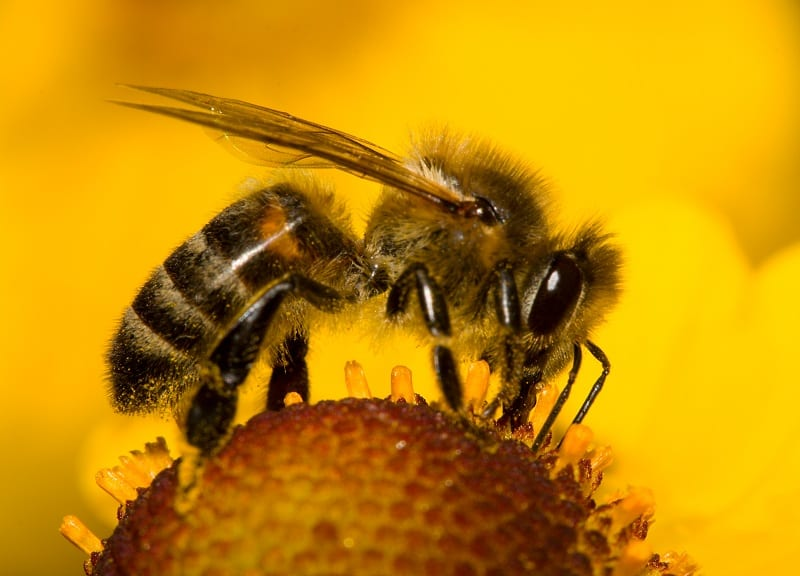 Researchers from Australia and France have found that bees can perform numerical tasks even better with proper training.