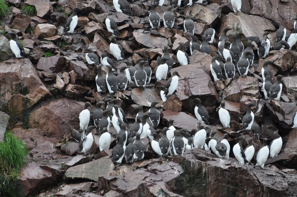 Blob KIlls a Million Seabirds
