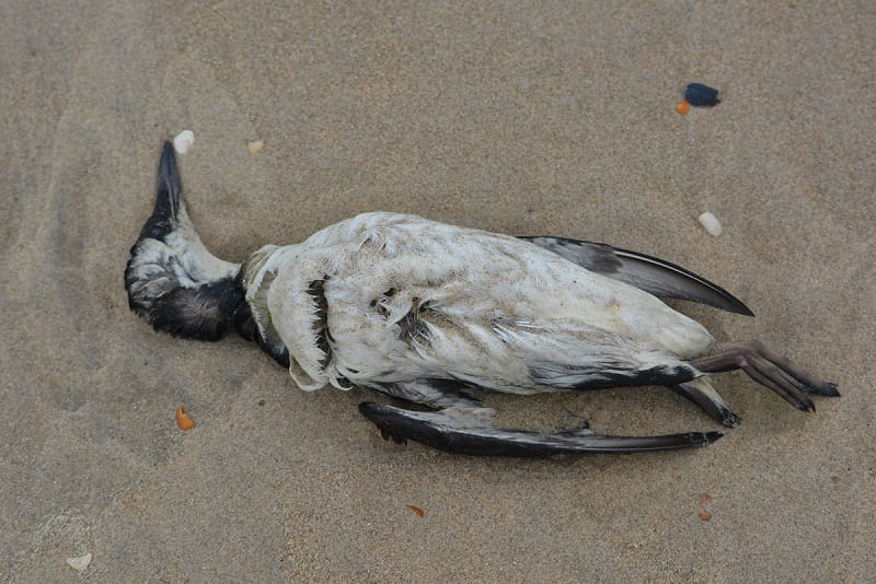"An enormous heatwave nicknamed ""The Blob"" has killed a million seabirds along the west coast of North America, according to researchers."