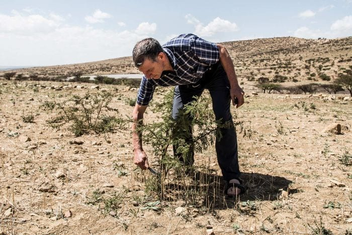 "Tony Rinaudo prunes a thorny acacia tree, which helps transform useless-looking ""desert bushes"" into potential trees."