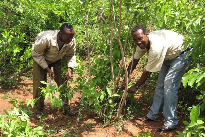 Farmers have learnt to thin and prune regrowth from trees in Humbo, Ethiopia.