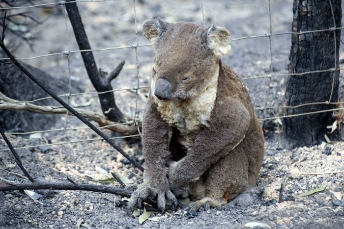 Alive but no future. This koala is a symptom of global warming...