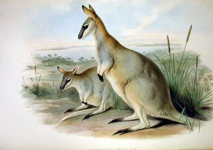 The Toolache Wallaby - considered the most graceful of all macropods, was driven to extinction in 1943